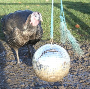 Co-operative creates playground for turkeys