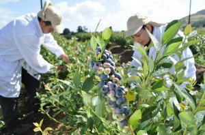 Co-operative to switch to 100% Fairtrade blueberries in November 2012