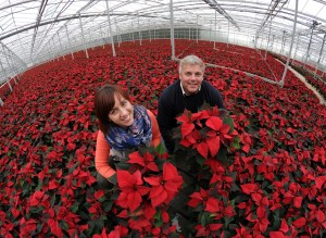 Co-operative Food supports domestic growers by stocking 100% British Poinsettias